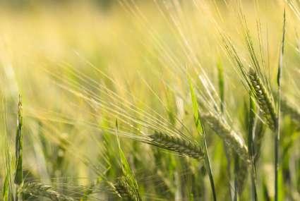 Épi de blé, épicerie Papilles